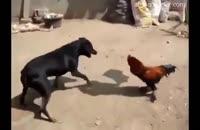 دعوای سگ و خروس