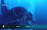 خورشید ماهی عظیم الجثه