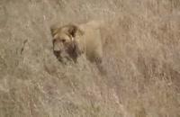 حمله ی 5 شیر به یک بوفالو