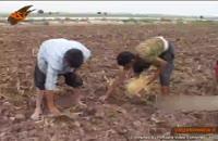 بذر گواهی شده