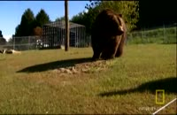 قدرت خرس گریزلی