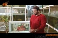 ماهی تایگر