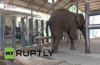 پای مصنوعی برای فیل معلول