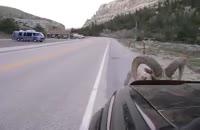 حمله قوچ وحشی به یک ماشین