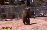 کلیپ گاز گرفتن صورت توسط خرس
