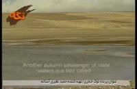 پرنده نوک خنجری