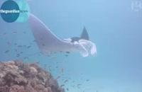 سفره ماهی غول پیکر در سواحل استرالیا