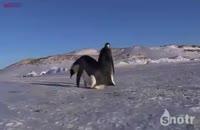 دنیای خنده دار پنگوئن ها