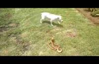 نبرد سگ با مار