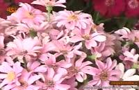 کلیپ گیاه شناسی : گل سینرر(نوروزی)