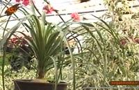 گیاه لیندا (پافیلی)