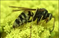 لحظه زایمان زنبور