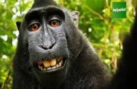 عکس جنجالی یک میمون خندان و مسئله کپی رایت برای حیوان ها