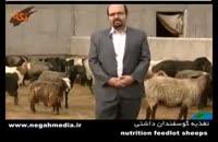 تغذیه گوسفندان داشتی