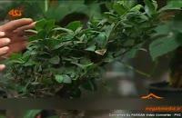 گونه هاي گياهي:گل بن سای