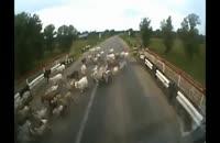 واقعه وحشتناک له کردن گوسفندان