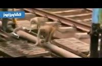 نجات یک میمون توسط همنوع خود