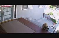 سگ کوچولو ،خرس ها را فراری داد