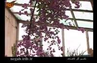 تكثیر گل كاغذی چگونه است؟