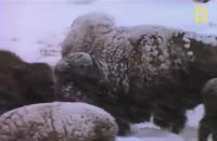 شكست ۱ گله گرگ خاكستری غول پیكر از خرس گریزلی