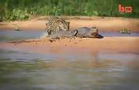 شکار تمساح توسط جگوار