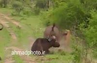 نبرد حیوانات وحشی
