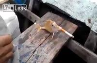 سیگار کشیدن ماهی