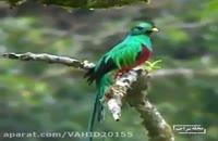 خوشگل ترین پرنده ی جهان
