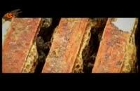 گونه هاي جانوري: زنبور عسل