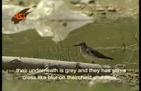 پرنده آبچلیک تالابی