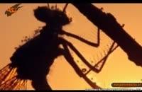 سنجاقک سیاه