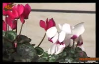 گل سیکلمه