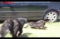 میانجی گری در دنیای حیوانات دعوا سگ فیلم