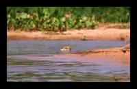 شکار تمساح توسط پلنگ