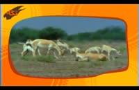 گونه هاي جانوري: گورخر ایرانی