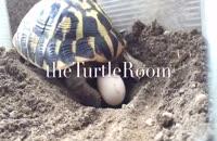 جدا کردن لاکپشت های به هم چسبیده