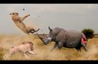 صحنه هایی از مبارزه حیوانات وحشی