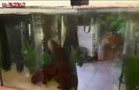 ماهی آکواریومی فیلم
