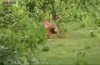 سگهای وحشی آسیایی،گوزن را زنده خوردند.
