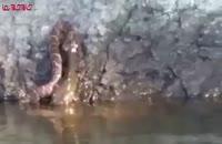 شکار گربه ماهی توسط مار صید صیاد.