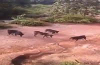 نبرد 5 سگ با یک مار افعی عظیم