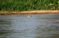 کلیپ جالب از شکار تمساح توسط پلنگ