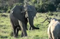 جدال فیل و کرگدن