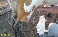 کلیپ بامزه و دیدنی شیر خوردن گربه