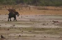 جدال تماشایی شیر نر و بچه فیل و عاقبت کار