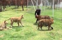 بازی با دو ببر و دو شیر