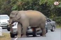 حمله فیل به اتومبیل !
