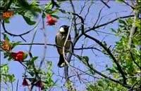 گونه هاي جانوري: زندگی بلبل