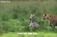 شکار تند و تیز بچه گوره خر توسط شیر