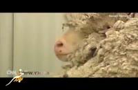 کریس پشمالو ترین گوسفند جهان